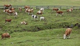 Mucche in pascolo verde Fotografia Stock Libera da Diritti