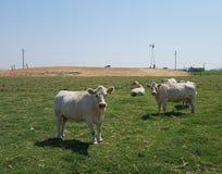Mucche in pascolo verde Immagini Stock Libere da Diritti