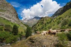Mucche in Pirenei in Spagna montagne e natura del paesaggio fotografie stock