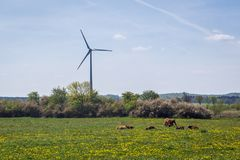 Mucche in Polonia Fotografia Stock