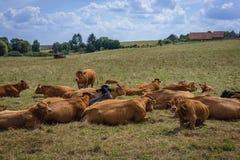 Mucche in Polonia immagine stock