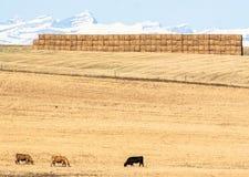 Mucche in prateria, Alberta, Canada Immagine Stock Libera da Diritti