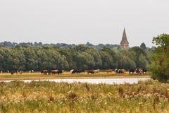 Mucche in prato fotografie stock