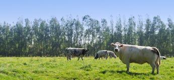 Mucche in prato fotografie stock libere da diritti