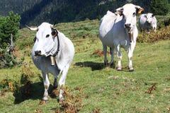 Mucche in Pyrenees Immagine Stock Libera da Diritti