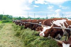 Mucche in recinto chiuso: immagine pastorale sul paese del bestiame Fotografia Stock Libera da Diritti