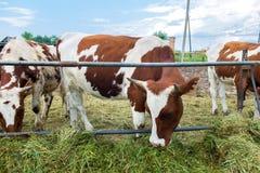 Mucche in recinto chiuso, immagine pastorale sul paese del bestiame Fotografia Stock