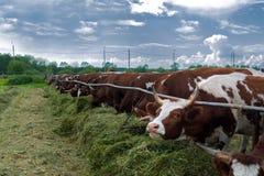 Mucche in recinto chiuso: immagine pastorale sul paese del bestiame Immagine Stock Libera da Diritti