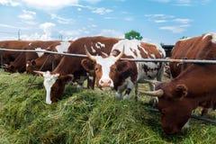 Mucche in recinto chiuso: immagine pastorale sul paese del bestiame Immagine Stock