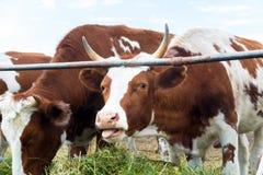 Mucche in recinto chiuso: paese pastorale del bestiame Fotografie Stock Libere da Diritti