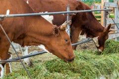 Mucche in recinto chiuso: paese pastorale del bestiame Fotografia Stock Libera da Diritti