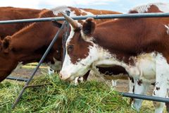 Mucche in recinto chiuso: paese pastorale del bestiame Immagine Stock Libera da Diritti