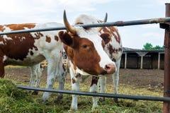 Mucche in recinto chiuso: paese pastorale del bestiame Immagine Stock