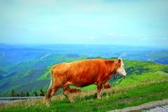 Mucche rosse in montagna Fotografia Stock