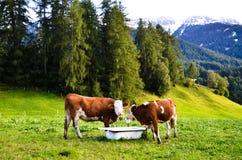 Mucche in Santa Maddalena nel Autumn, Tirolo del sud (Italia) Fotografia Stock