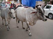 Mucche sante Fotografia Stock Libera da Diritti