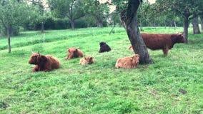 Mucche scozzesi dell'altopiano stock footage