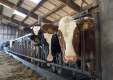 Mucche in scuderia Fotografia Stock Libera da Diritti