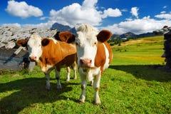 Mucche in Seiser Alm, il prato alpino di più grande elevata altitudine in Europa, montagne rocciose di stordimento sui precedenti Immagini Stock Libere da Diritti