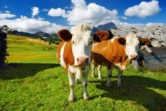 Mucche in Seiser Alm, il prato alpino di più grande elevata altitudine in Europa, montagne rocciose di stordimento sui precedenti Fotografie Stock