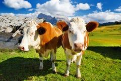 Mucche in Seiser Alm, il prato alpino di più grande elevata altitudine in Europa, montagne rocciose di stordimento sui precedenti Fotografia Stock
