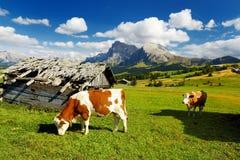 Mucche in Seiser Alm, il prato alpino di più grande elevata altitudine in Europa, montagne rocciose di stordimento sui precedenti Immagine Stock