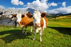 Mucche in Seiser Alm, il prato alpino di più grande elevata altitudine in Europa, montagne rocciose di stordimento sui precedenti Fotografie Stock Libere da Diritti