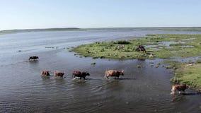 Mucche selvagge che nuotano nel lago e nei cavalli selvaggii Engure che mangiano nel prato, Lettonia archivi video