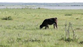 Mucche selvagge che pascono e che mangiano erba nel prato dal lago Engure video d archivio
