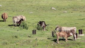 Mucche selvagge che pascono e che mangiano erba nel prato dal lago Engure archivi video