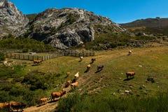 Mucche sentite parlare nel parco nazionale dell'europa di Picos da Fotografia Stock Libera da Diritti