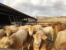 Mucche in Singra fotografia stock