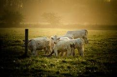 Mucche in sole fotografia stock libera da diritti