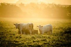 Mucche in sole immagine stock