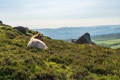 Mucche sopra il tor di Higger, South Yorkshire, Inghilterra, Regno Unito fotografie stock