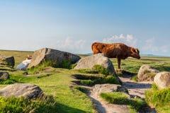 Mucche sopra il tor di Higger, South Yorkshire, Inghilterra, Regno Unito fotografie stock libere da diritti