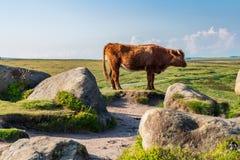 Mucche sopra il tor di Higger, South Yorkshire, Inghilterra, Regno Unito fotografia stock