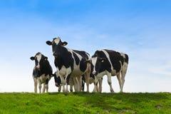 Mucche sopra su terreno coltivabile Fotografia Stock Libera da Diritti