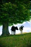 Mucche sotto l'albero Fotografie Stock