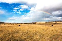 Mucche sotto l'arcobaleno fotografia stock