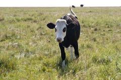 Mucche in st Peter-Ording Fotografia Stock