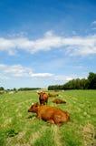 Mucche su erba verde Fotografia Stock Libera da Diritti