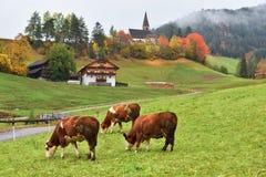 Mucche su farmalnd, Funes, dolomia, Italia Fotografia Stock Libera da Diritti