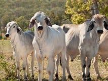 Mucche su industria australiana della carne dei bovini da carne del ranch Immagini Stock Libere da Diritti
