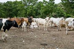 Mucche su terreno coltivabile Immagini Stock Libere da Diritti