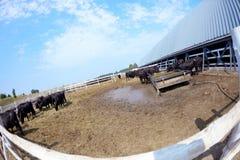 Mucche su un'azienda agricola in una penna Fotografie Stock