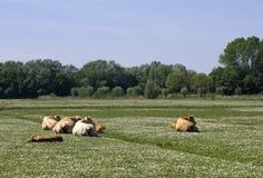Mucche su un campo immagini stock libere da diritti