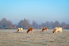 4 mucche su un campo con erba coperta di brina Immagine Stock