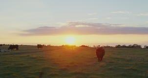 Mucche su un campo di erba stock footage