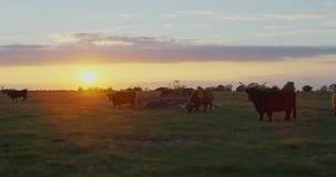 Mucche su un campo di erba video d archivio